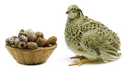 Quail and basket with eggs  Royalty Free Stock Image