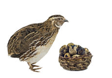 Quail and basket with eggs Royalty Free Stock Photography