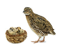 Quail and basket with its eggs Royalty Free Stock Image