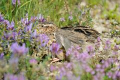 Quail Royalty Free Stock Image