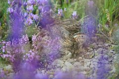 Quail Royalty Free Stock Photo