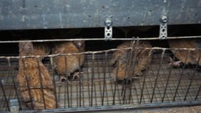 Quail birds in factory stock video footage