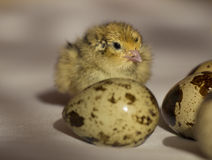 Quail chick Stock Photography