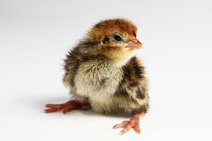 Quail chicken. Sitting on the white background Royalty Free Stock Photo