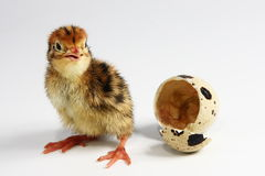 Quail chicken. Cute quail chicken hatched out Stock Photos