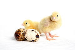 Quail chicks and eggs Royalty Free Stock Photos