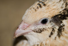 Quail closeup. Horizontal head portrait of a quail Stock Photos