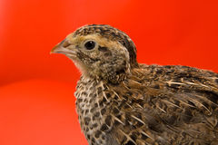Quail (Coturnix japonica) Royalty Free Stock Image