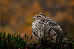 Quail, Coturnix japonica.....photographed in nature. Japanese quail, Coturnix japonica.....photographed in nature. Breed by hoby growers in Sweden. The Japanese stock photography