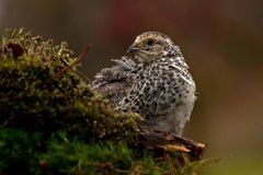 Quail, Coturnix japonica.....photographed in nature. Japanese quail, Coturnix japonica.....photographed in nature. Breed by hoby growers in Sweden. The Japanese stock photos