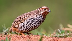The quail Coturnix coturnix. Is a small ground-nesting game bird in the pheasant family Phasianidae Stock Photography
