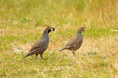 Quail Couple Stock Images