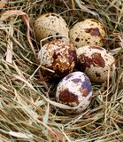 Quail dappled egg in the straw, close-up Stock Images