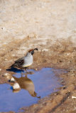 A Quail in the Desert, and its Reflection Stock Image