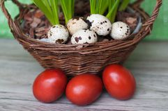 Quail and dyed eggs, wicker basket. Easter eggs and plants stock image