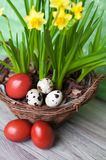 Quail and dyed eggs, wicker basket. Easter eggs and plants stock photo