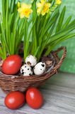 Quail and dyed eggs, wicker basket. Easter eggs and plants royalty free stock images