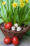 Quail and dyed eggs, wicker basket. Easter eggs and plants royalty free stock image