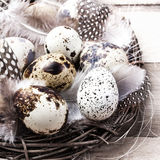 Quail Easter eggs in nest on rustic bright  wooden Royalty Free Stock Photography