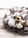 Quail Easter eggs in nest on rustic bright  wooden Royalty Free Stock Image