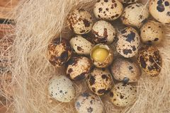 Quail easter eggs in the nest on wooden background. Quail eggs in the nest on wooden background. Happy easter. Top view. Free space. Flat lay. Spring. Easter egg stock photo