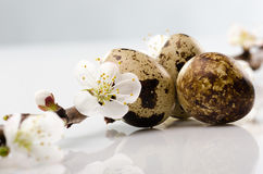 Quail egg and an apricot branch Royalty Free Stock Photography