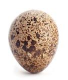 Quail egg closeup Stock Image