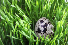 Quail egg in green grass Stock Photo