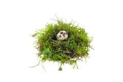 Quail egg in nest Stock Photos