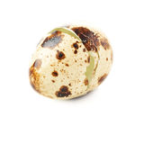 Quail egg shell cracked and isolated over white background Royalty Free Stock Photo