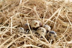 Quail egg thatch straw Stock Images