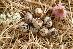 Quail egg thatch straw Royalty Free Stock Images