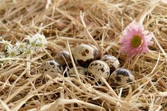 Quail egg thatch straw Royalty Free Stock Image