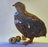 Quail with eggs Royalty Free Stock Images