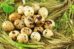 Quail eggs. In the grass, closeup Royalty Free Stock Image