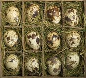 Quail Eggs. In individual grass filled sections of a container royalty free stock image