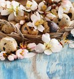 Quail eggs and almond flowers. On  a blue wooden background Stock Photos