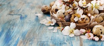 Quail eggs and almond flowers. On  a blue wooden background Stock Images