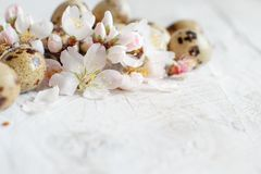 Quail eggs and almond flowers. On  a  wooden background Royalty Free Stock Image