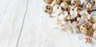 Quail eggs and almond flowers. On  a  wooden background Royalty Free Stock Images