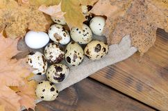 Quail eggs with autumn leaves on sacking on a dark brown wooden. Surface, top view, empty place for text, recipe Stock Images
