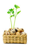 Quail eggs in basket Stock Images