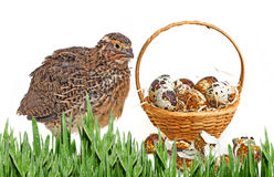 Quail eggs in a basket and a quail. White background Stock Images