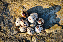 Quail eggs on the boulder Royalty Free Stock Images