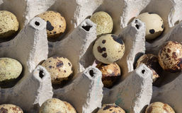 Quail eggs in carton Stock Photos