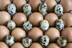 Quail eggs and chicken in a cardboard container royalty free stock photo