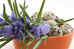 Quail eggs and crocuses in orange cup Royalty Free Stock Photo