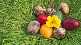 Quail eggs dyed raw Easter nest made of grass with a yellow flower primrose composition Stock Photos