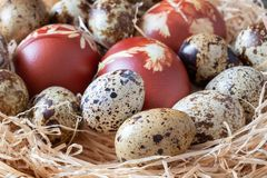 Quail eggs and Easter eggs dyed with onion peels royalty free stock photos