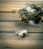 Quail eggs with feather Stock Photo